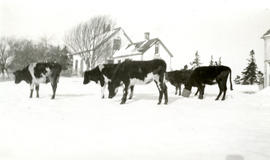 Cows in front of Siteman home
